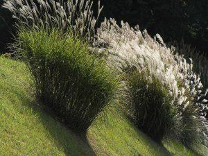 japanese_pampas_grass